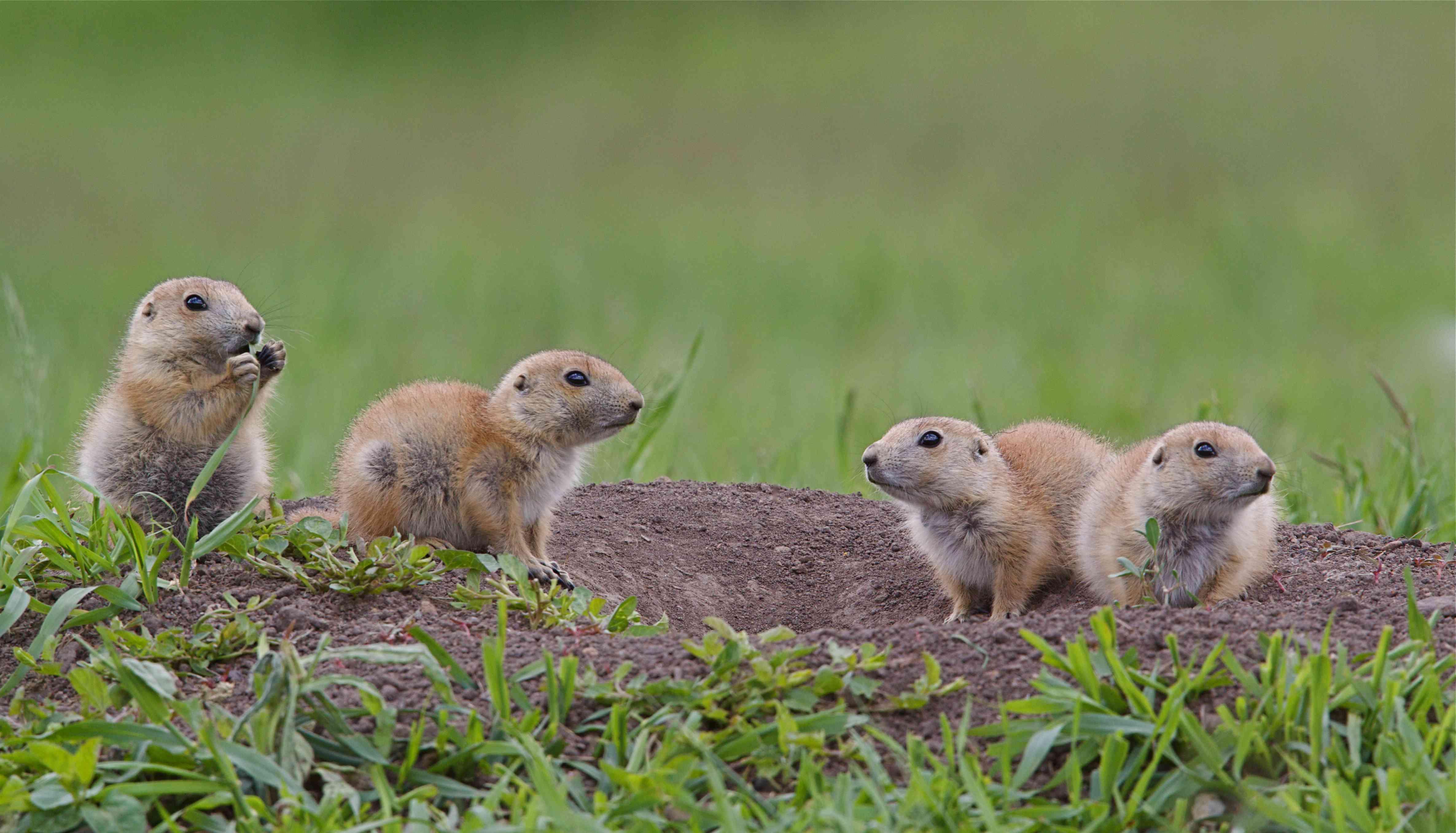 black-tailed prairie dog pups