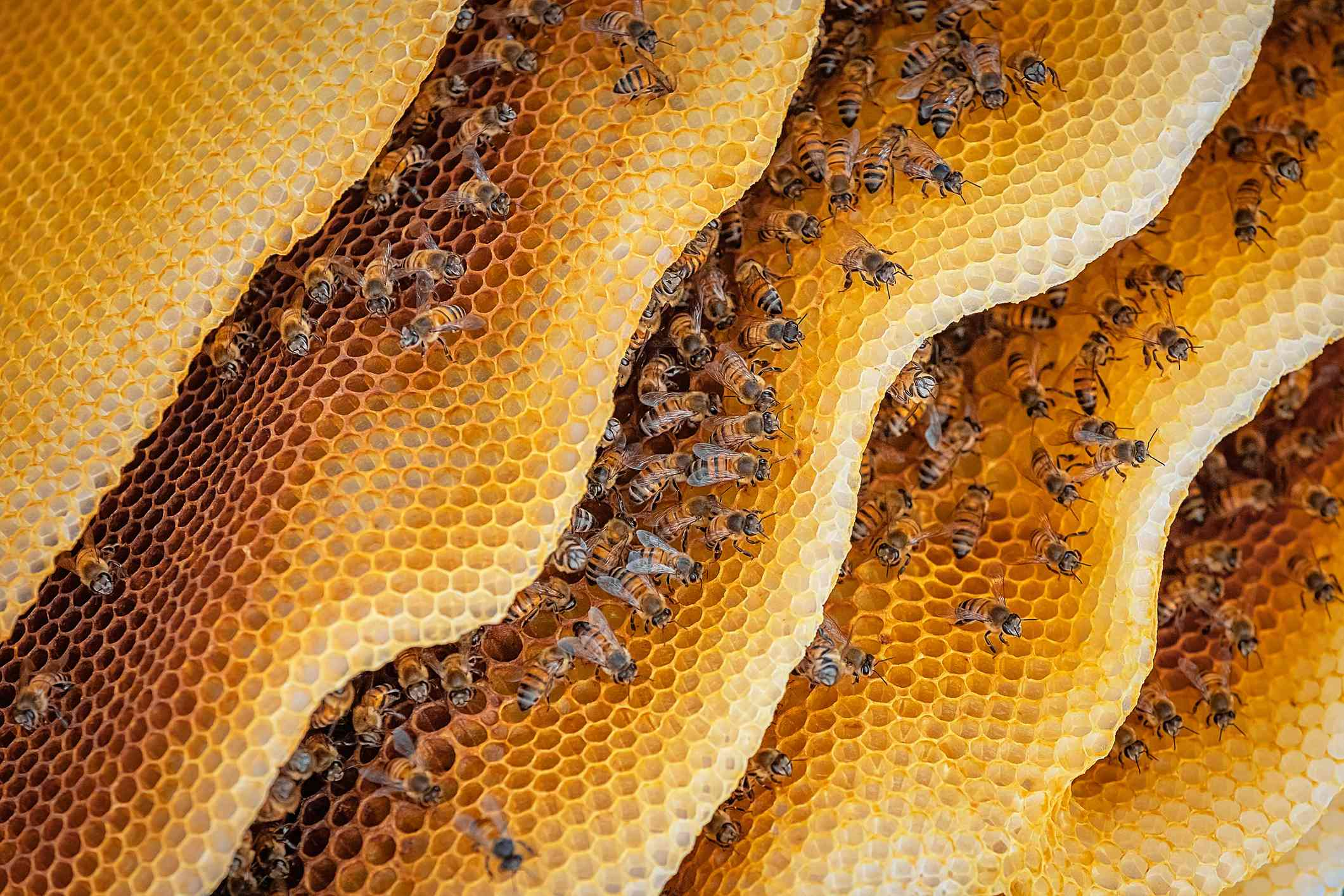 Close up of honey bee colony in a hive