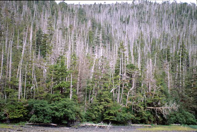 Yellow-cedars dying in West Chichagof-Yakobi Wilderness Area, a pristine area of coastal Alaska. Photo: Paul Hennon