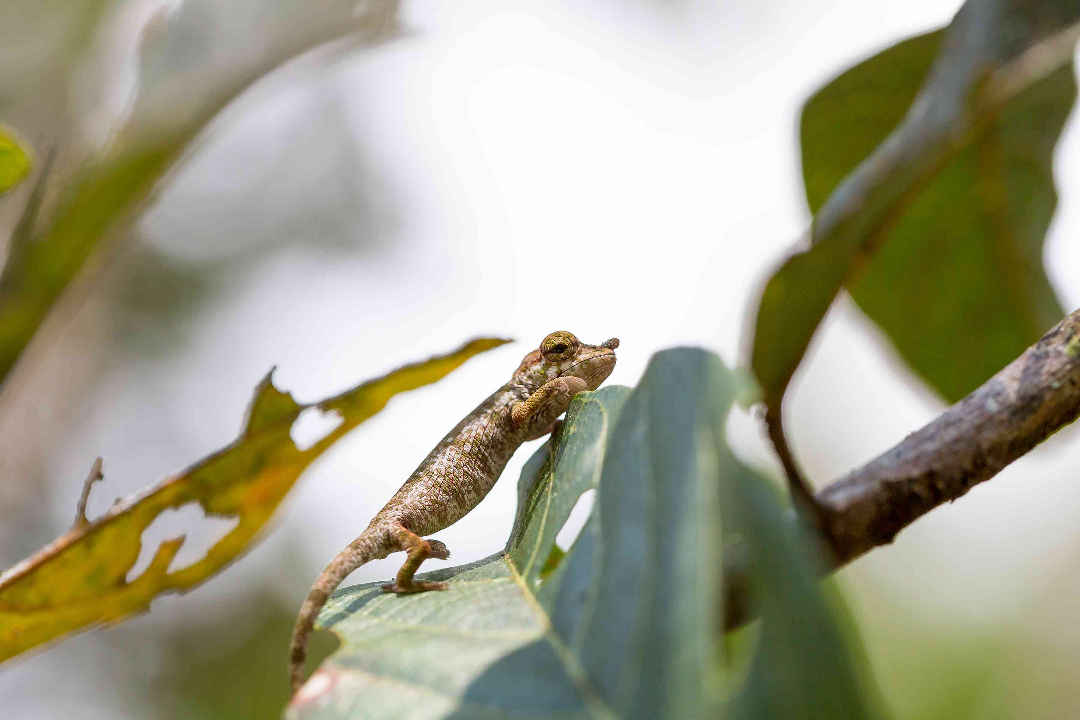 Small nose-horned chameleon climbing on leaf