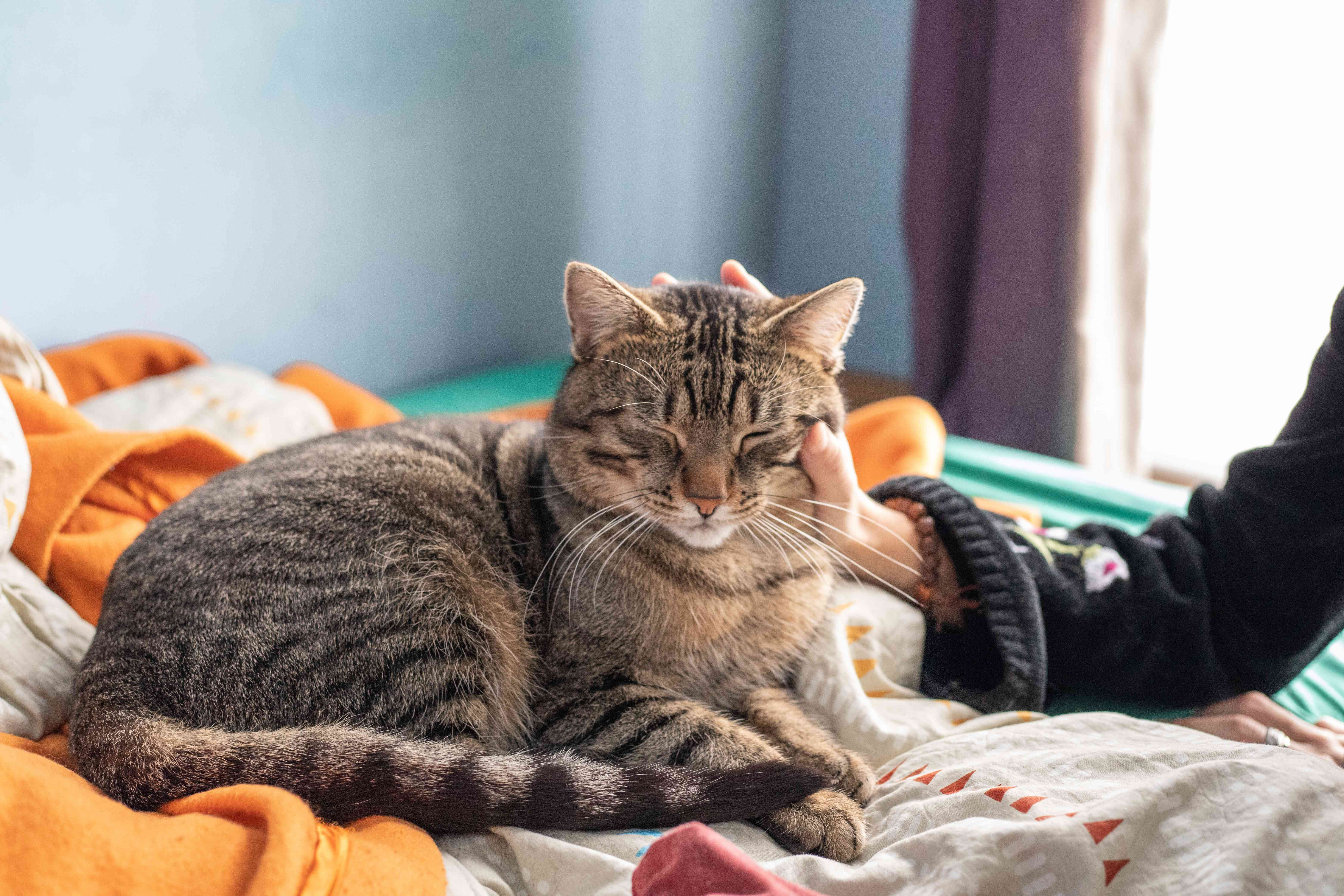 woman's arm pets cat while sitting on bed of blankets