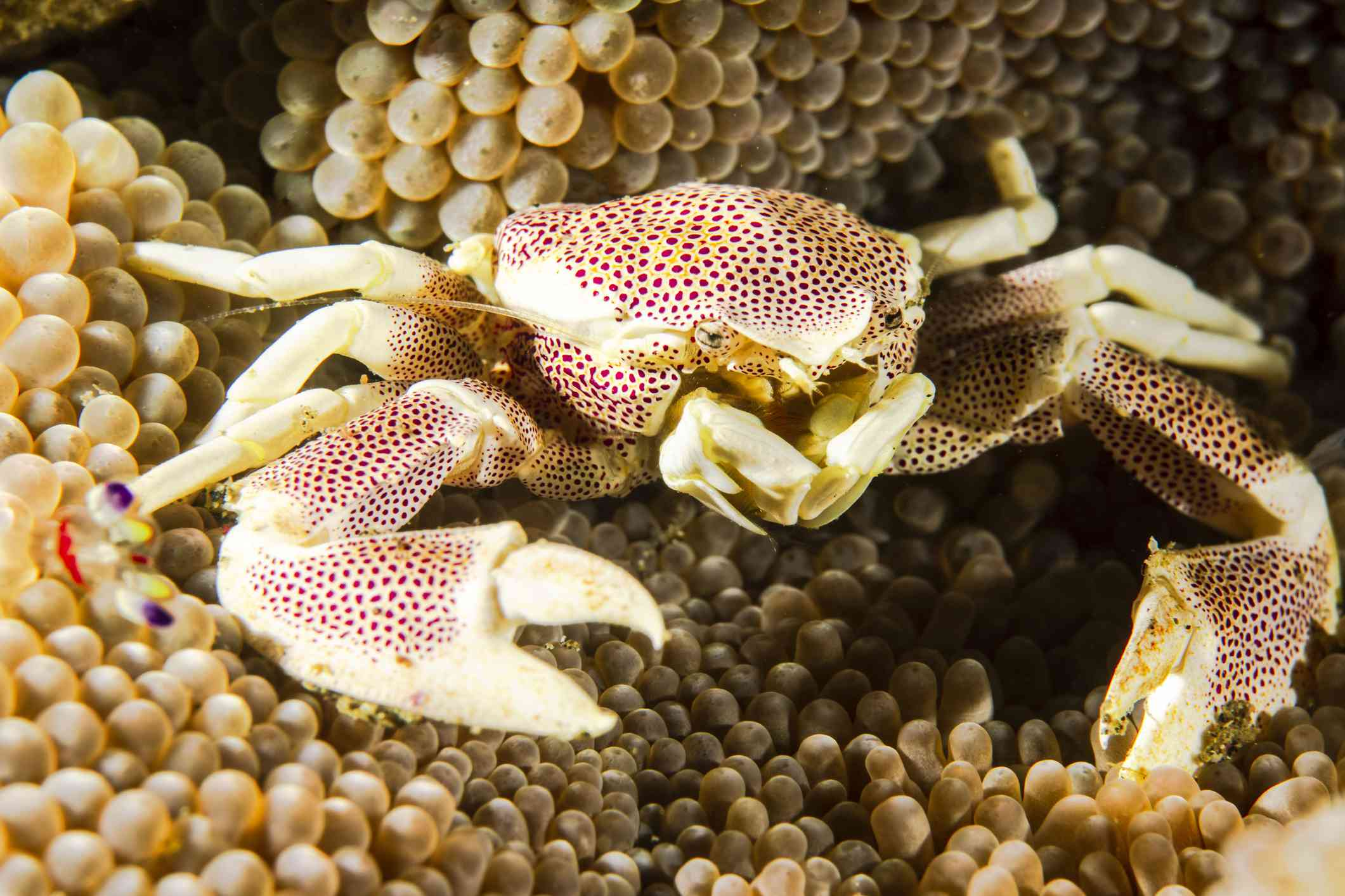 A dotted porcelain crab on a sea anemone.