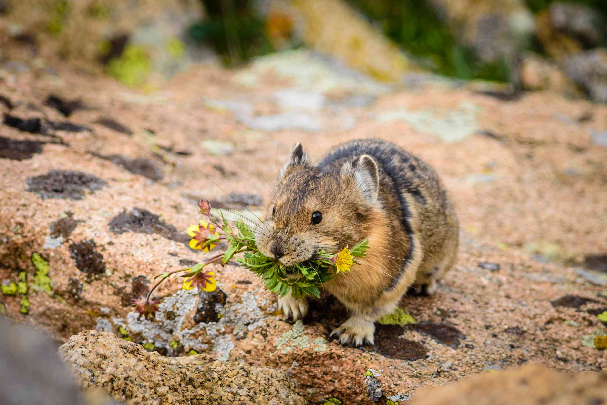 A pika on a rocky surface with flowers in its mouth