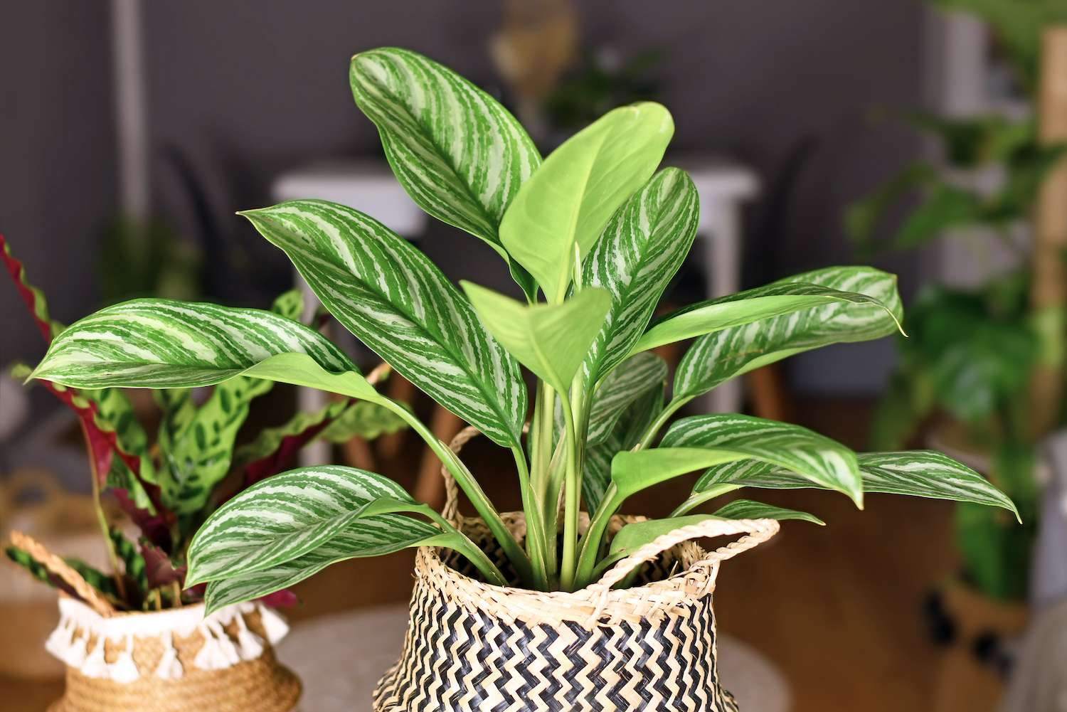 A Chinese evergreen houseplant sits in a woven basket inside among other plants