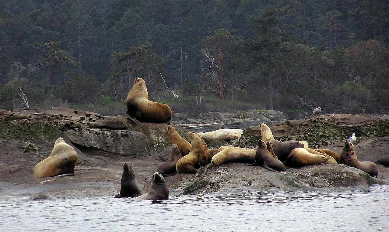 A colony of Steller sea lions congregate near the water's edge.