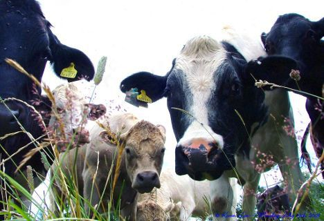 dairy cows photo