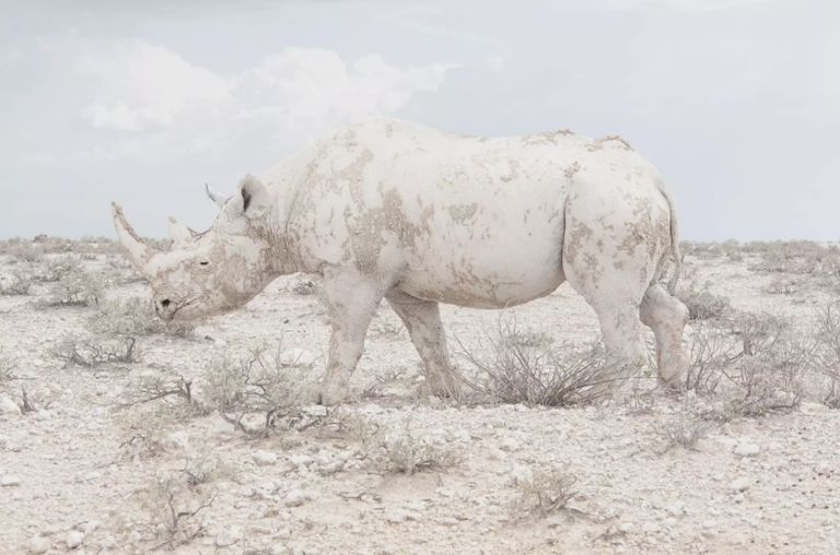 Salt-caked black rhino