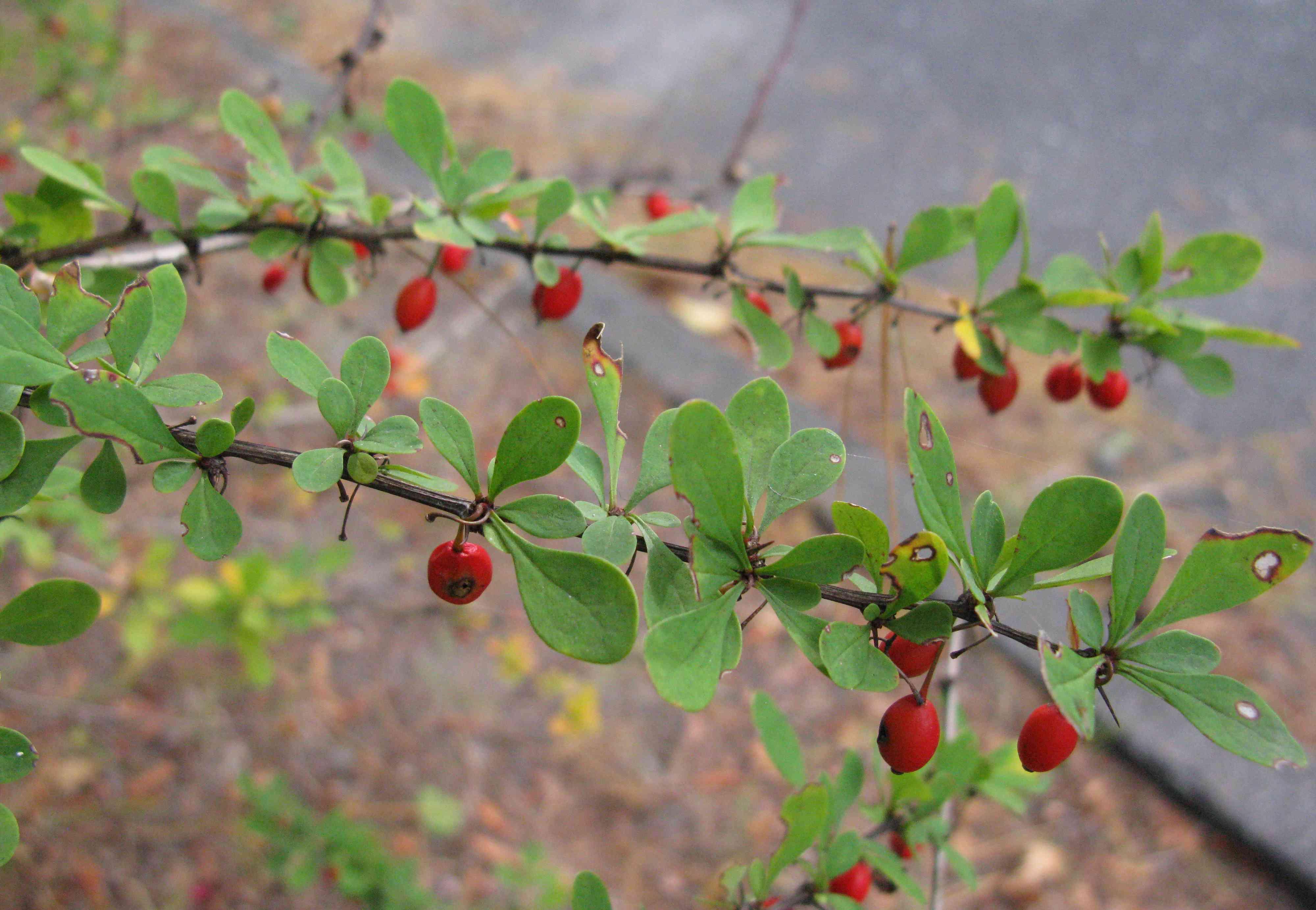 Japanese barberry, Berberis thunbergii