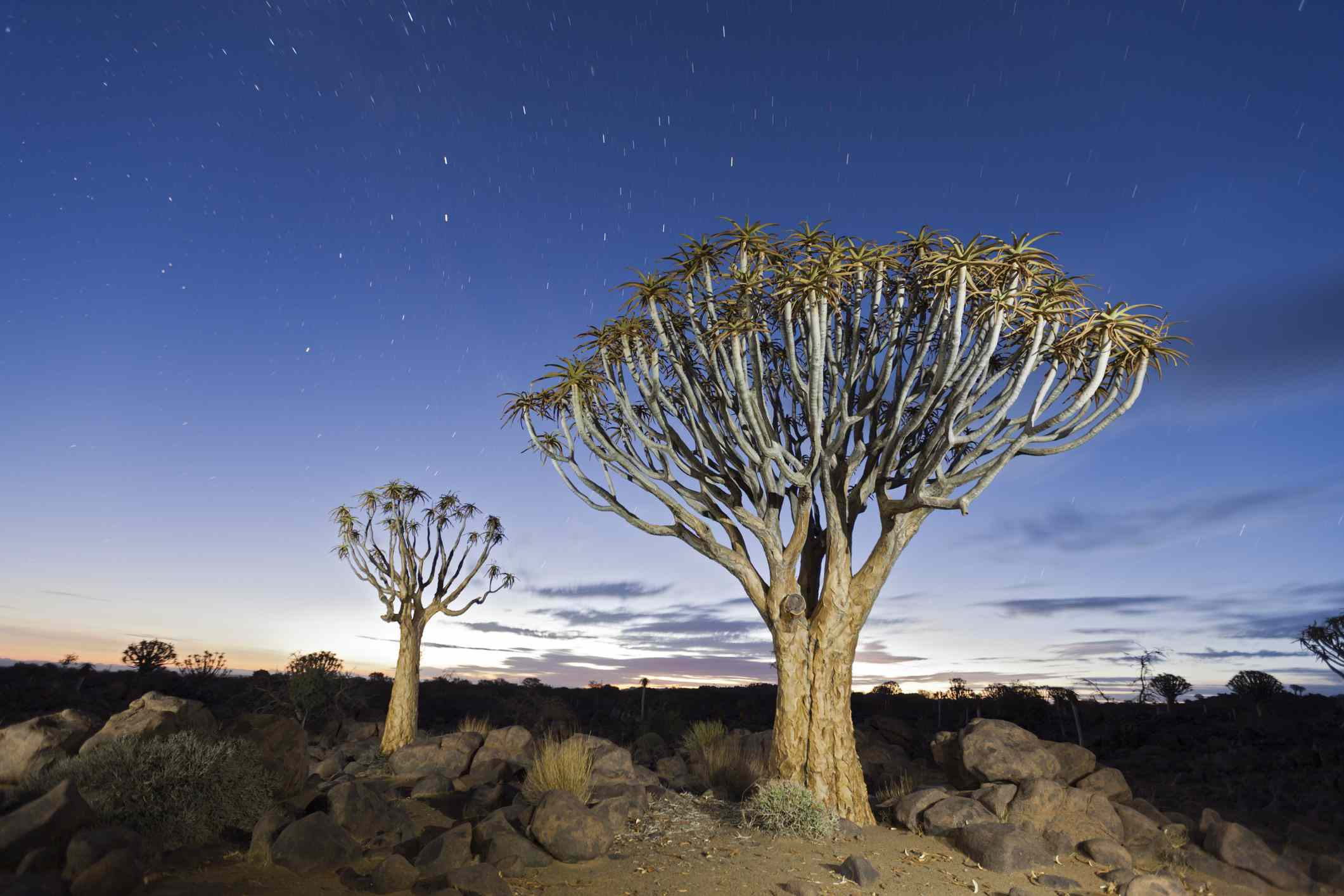 Quiver Tree (Aloidendron dichotomum)