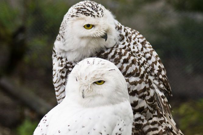 snowy owl couple with male in front of female