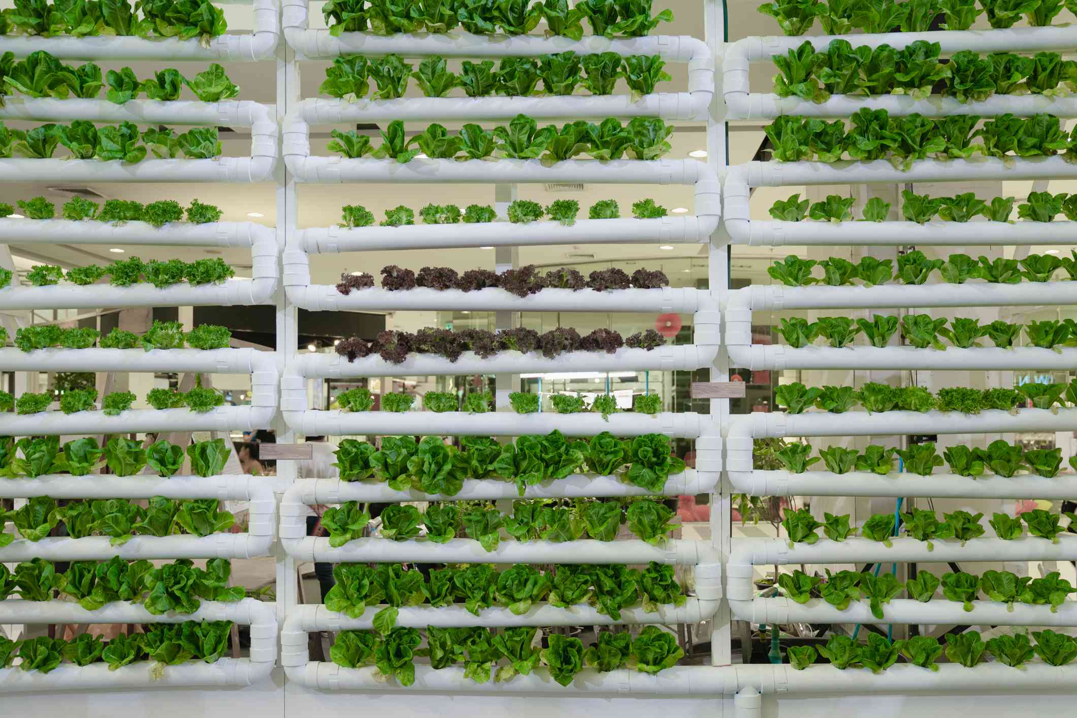 A vertical farm growing lettuce in hydroponics set up.