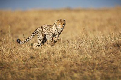 Cheetah running through grass