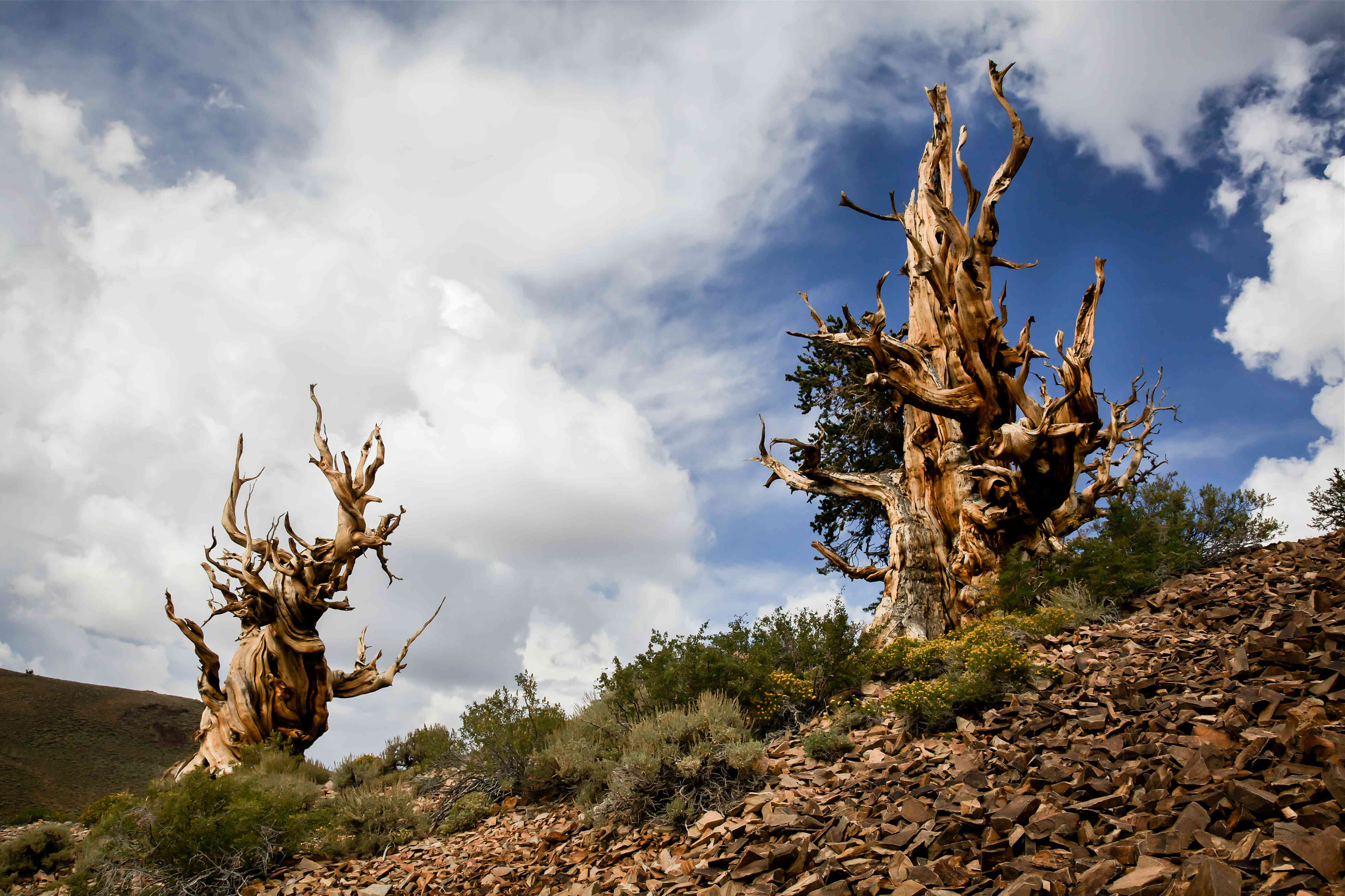 Two ancient bristlecone pine trees on a rocky hillside
