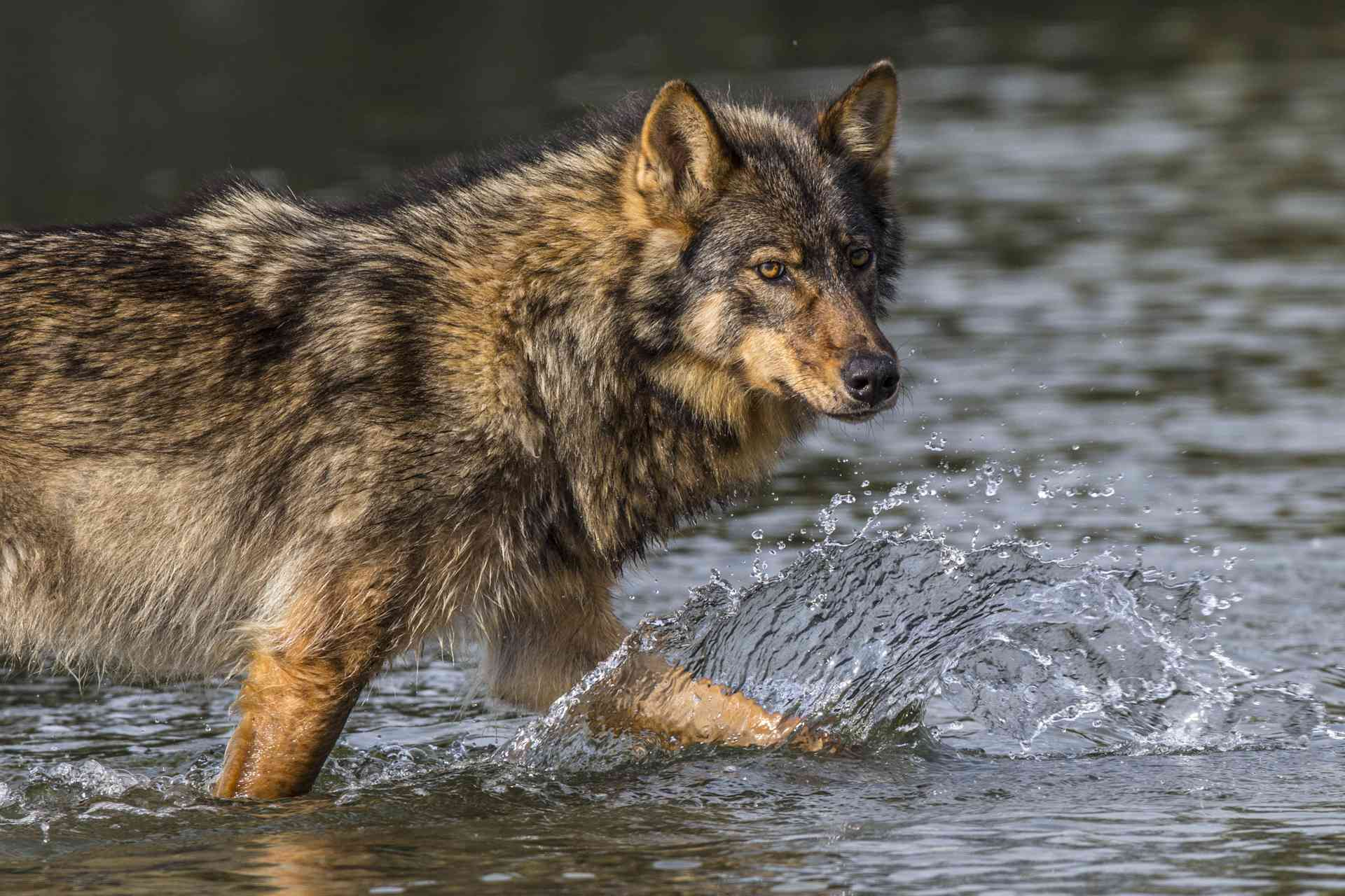 Coastal rain wolves live on the outer Islands of the BC coast. Wolves on these Islands live on a very diverse selection of food including deer, chitons in the intertidal zone.