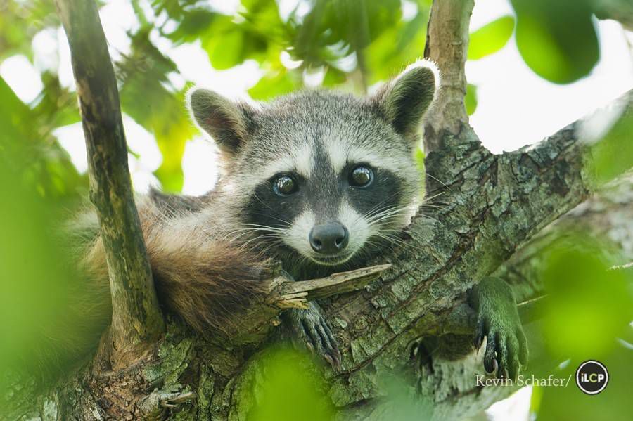 pygmy raccoon in a tree with the sunlight behind it