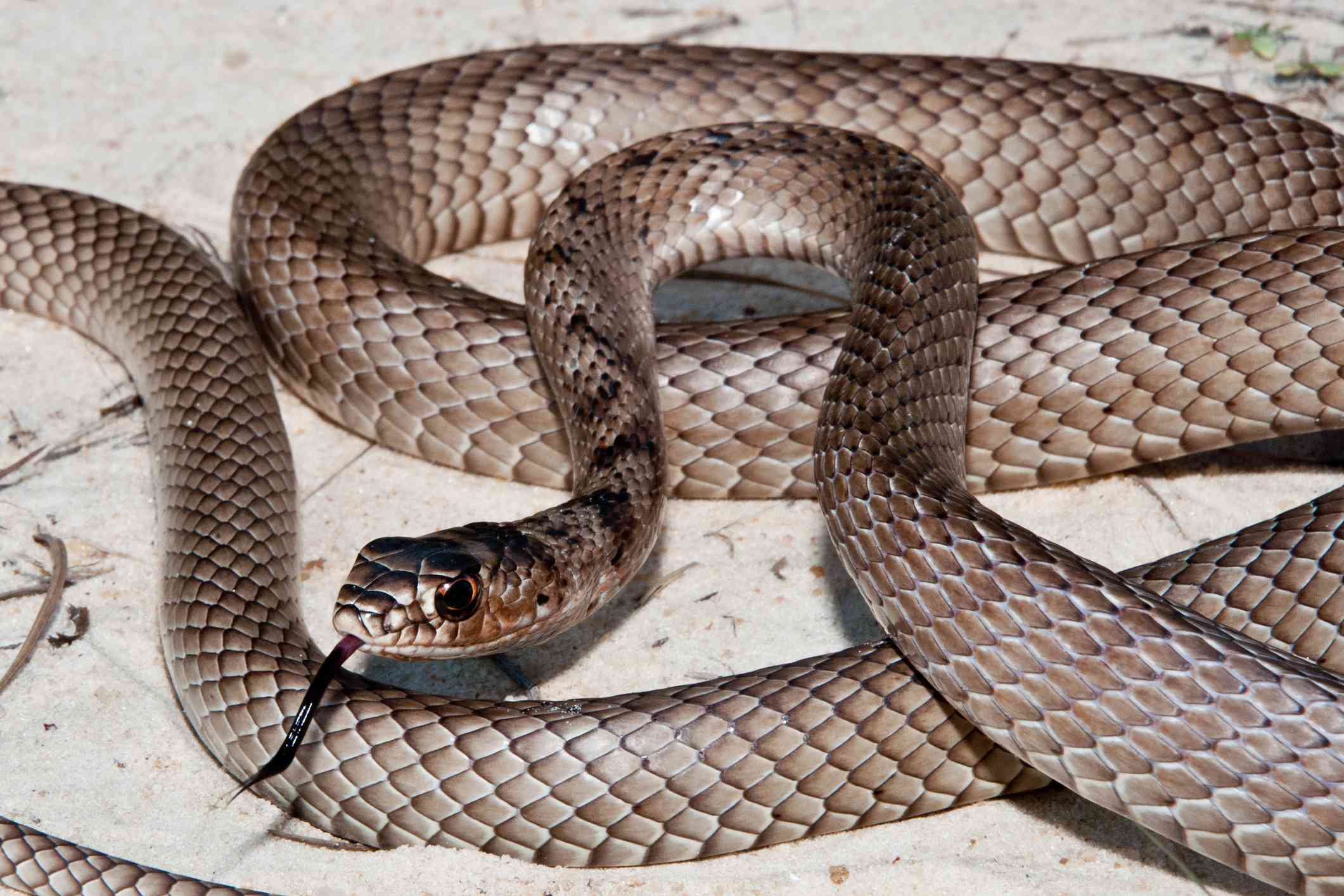 Eastern coachwhip coiled in the sand
