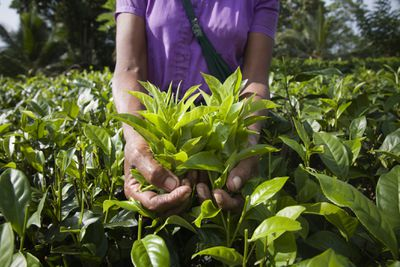 Agricultural worker with a handful of Fair Trade tea leaves in a tea field