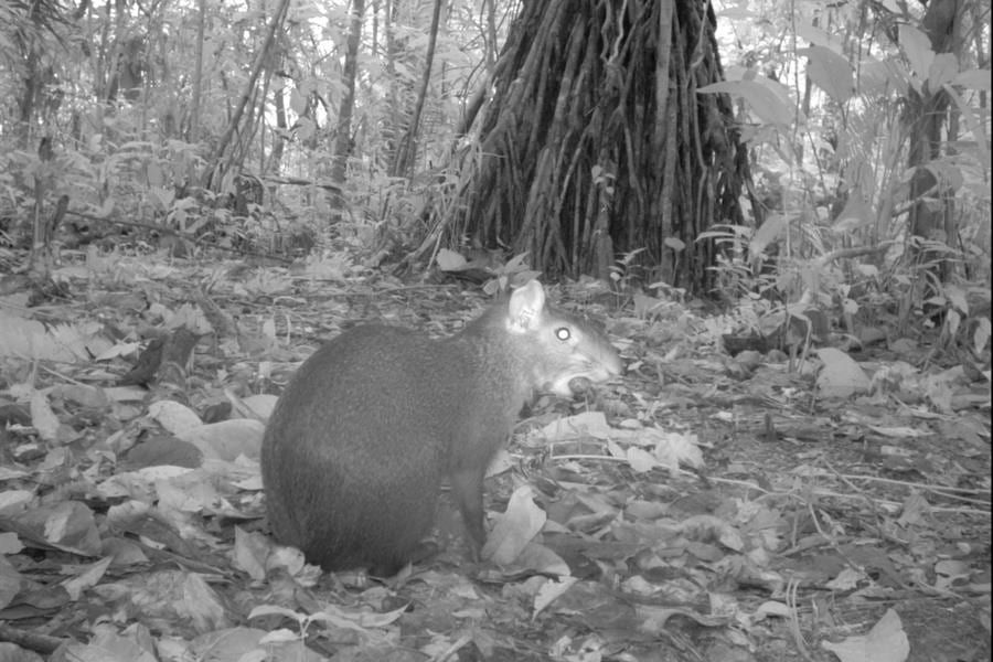 An agouti photographed in Braulio Carrillo National Park, Costa Rica, by a Tropical Ecology Assessment and Monitoring (TEAM) Network camera trap.
