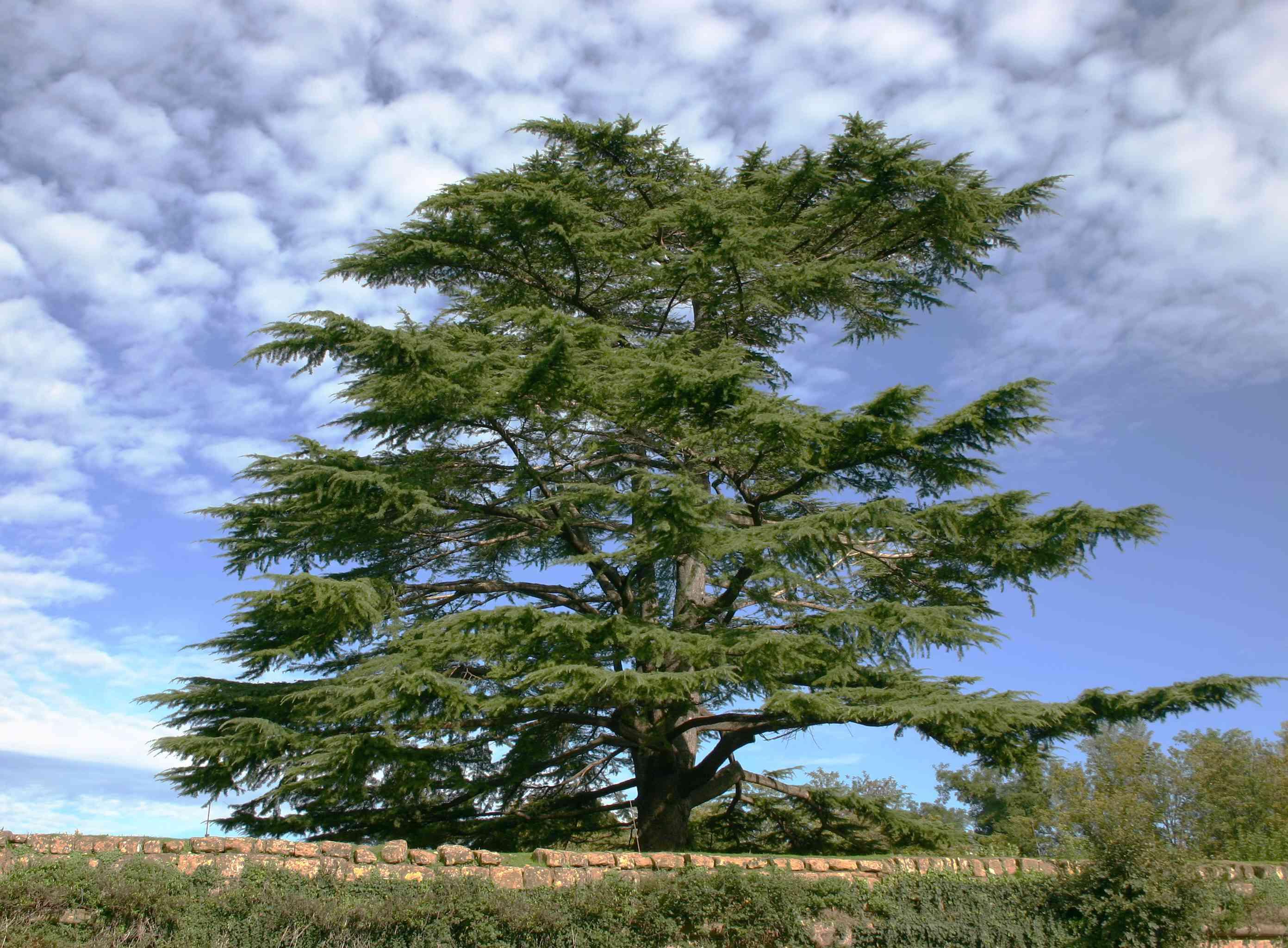 A single cedar tree in Lebanon against a blue cloudy sky.