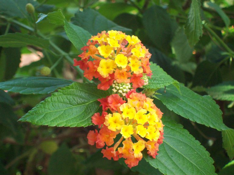 Latana Red Spread flower plant