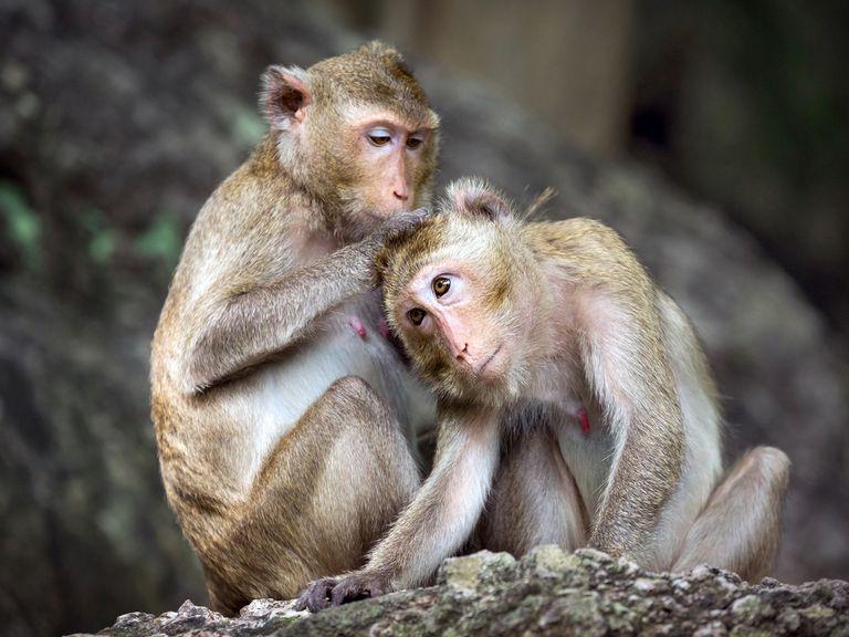 ¿Cómo sabemos lo que piensan otras personas? Este estudio de monos puede ofrecer pistas