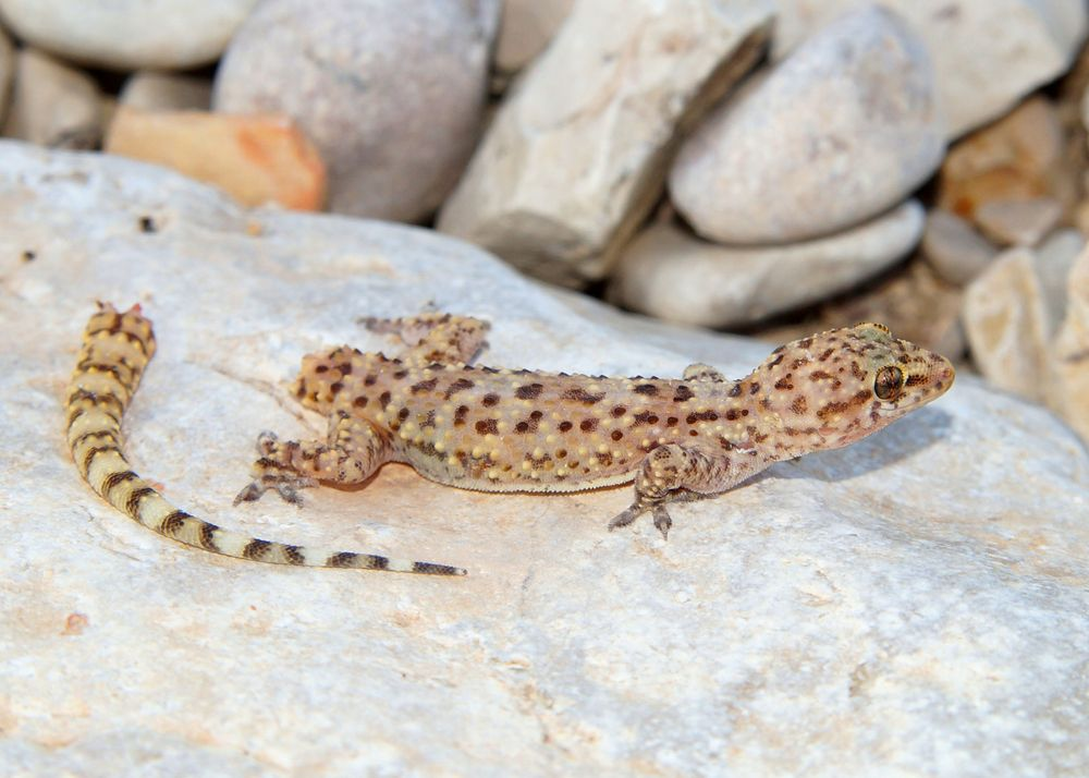 Geckos can ditch their tails as a strategy for escaping predators.