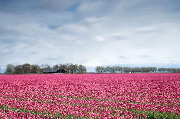 Las personas que toman selfies pisotean los campos de tulipanes holandeses