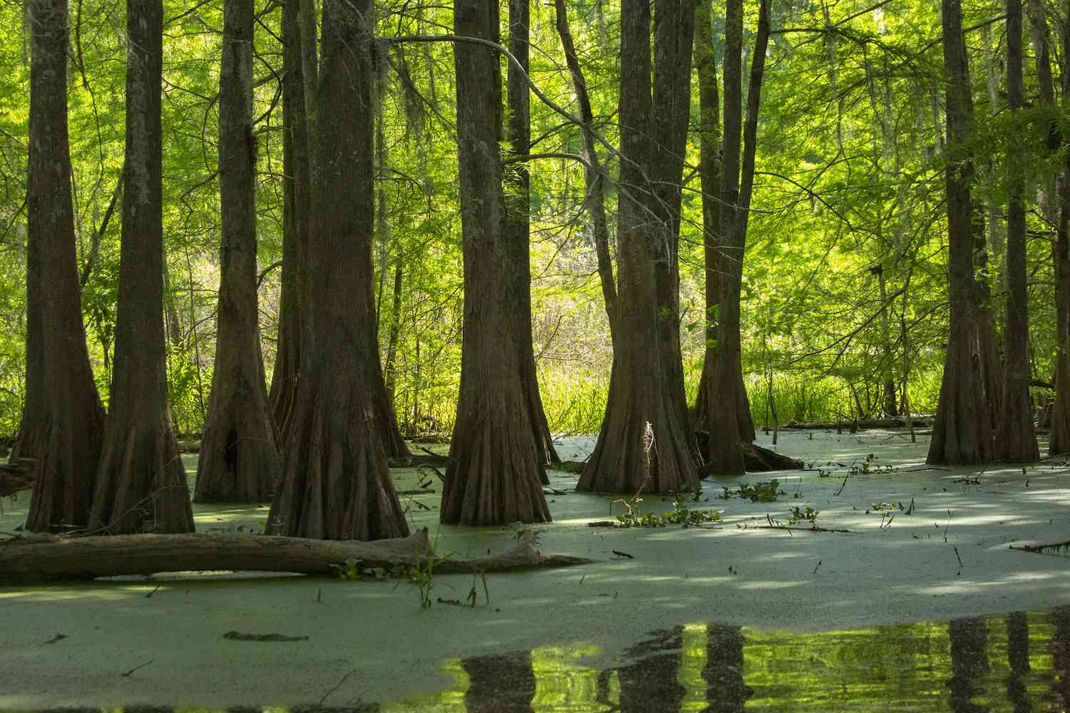 Cypress trees grow out from wetlands at Cypress Island Preserve