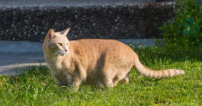 Orange-and-white cat stalks through a yard
