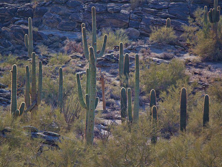 Los cactus están en peligro por una razón sorprendente