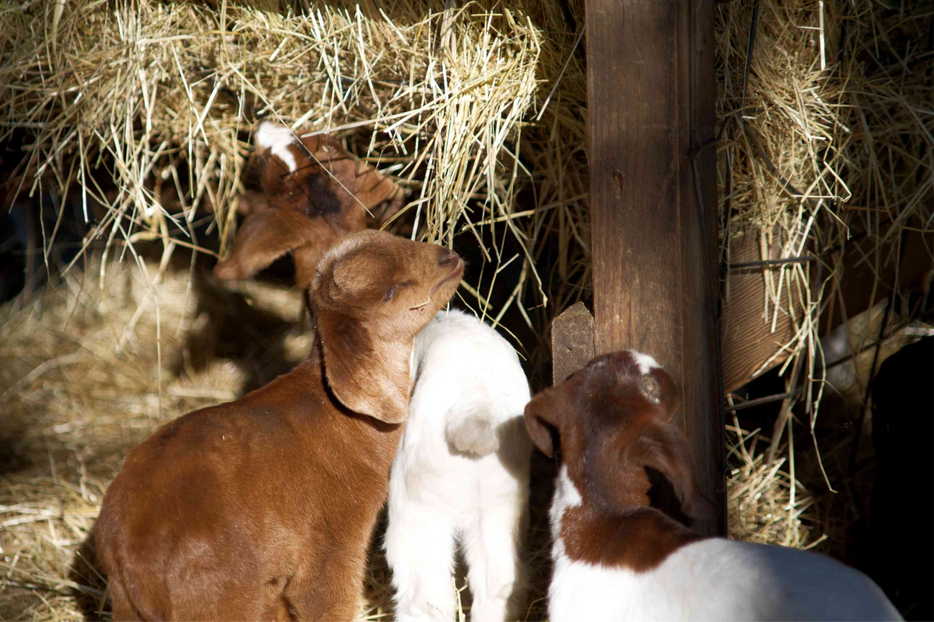 three brown and white baby goats eat hay in wooden barn
