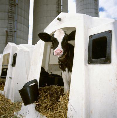 A Holstein dairy calf in a hutch at a dairy