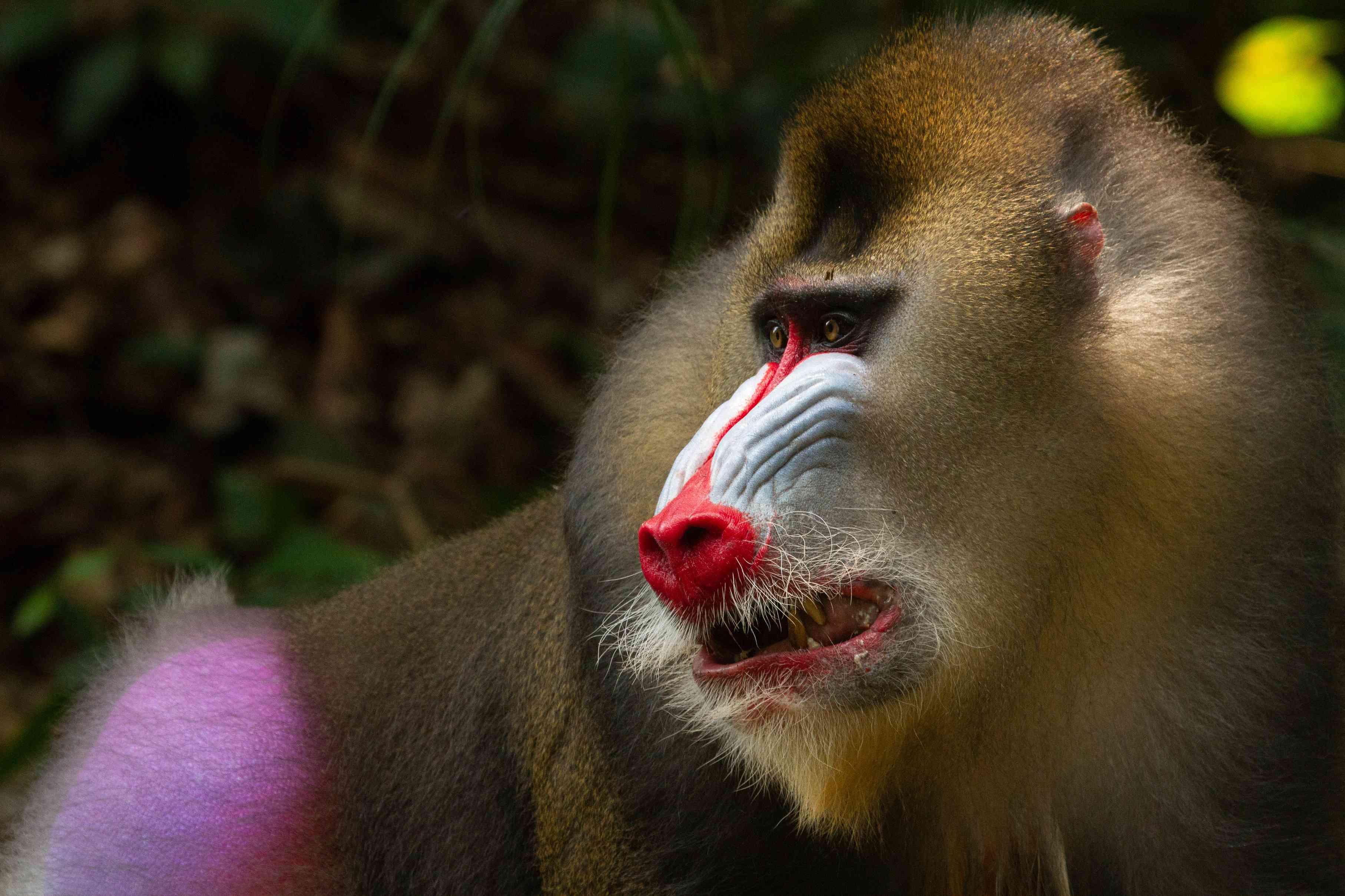 mandrill in Gabon