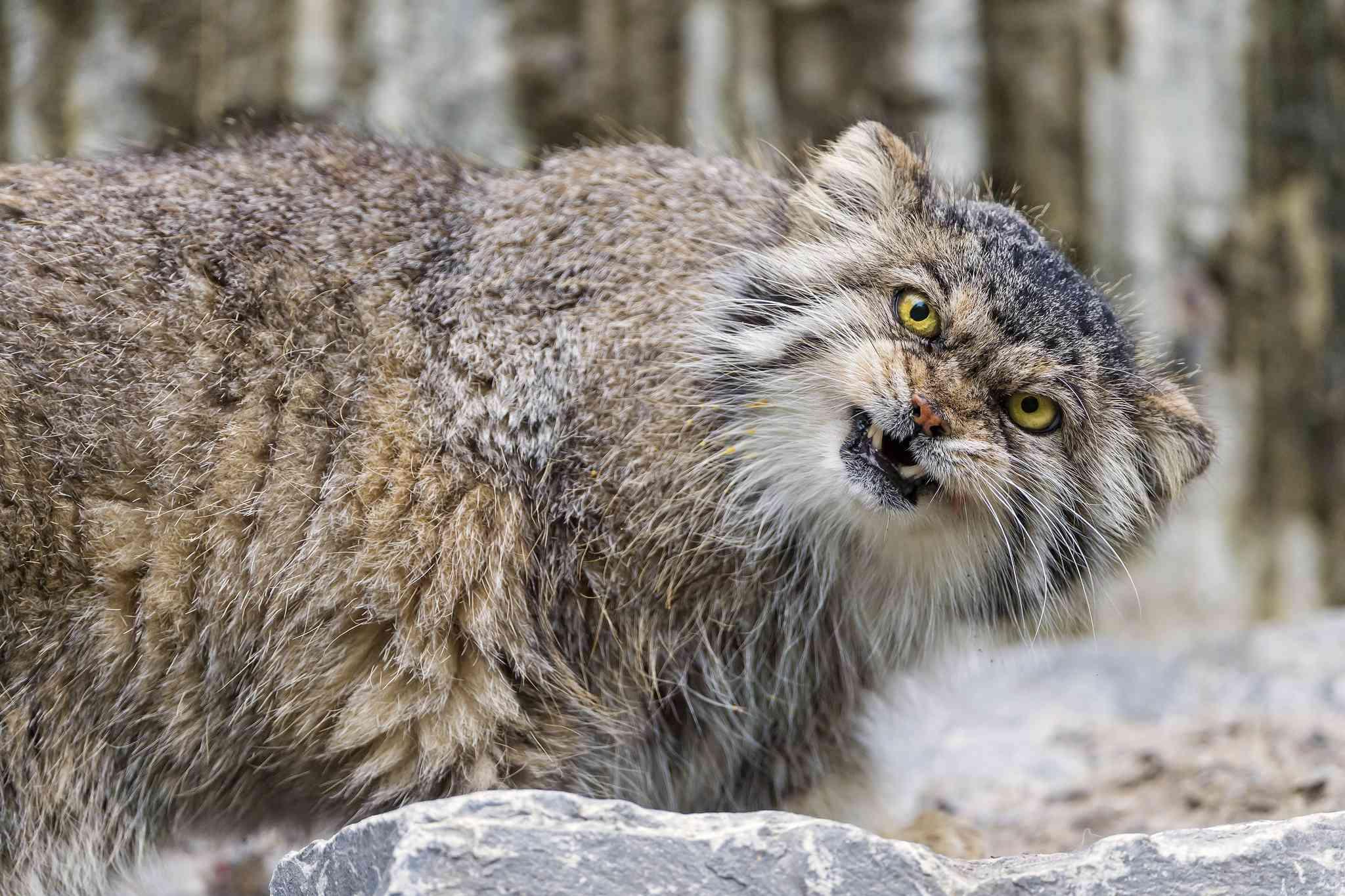 snarling Pallas' cat