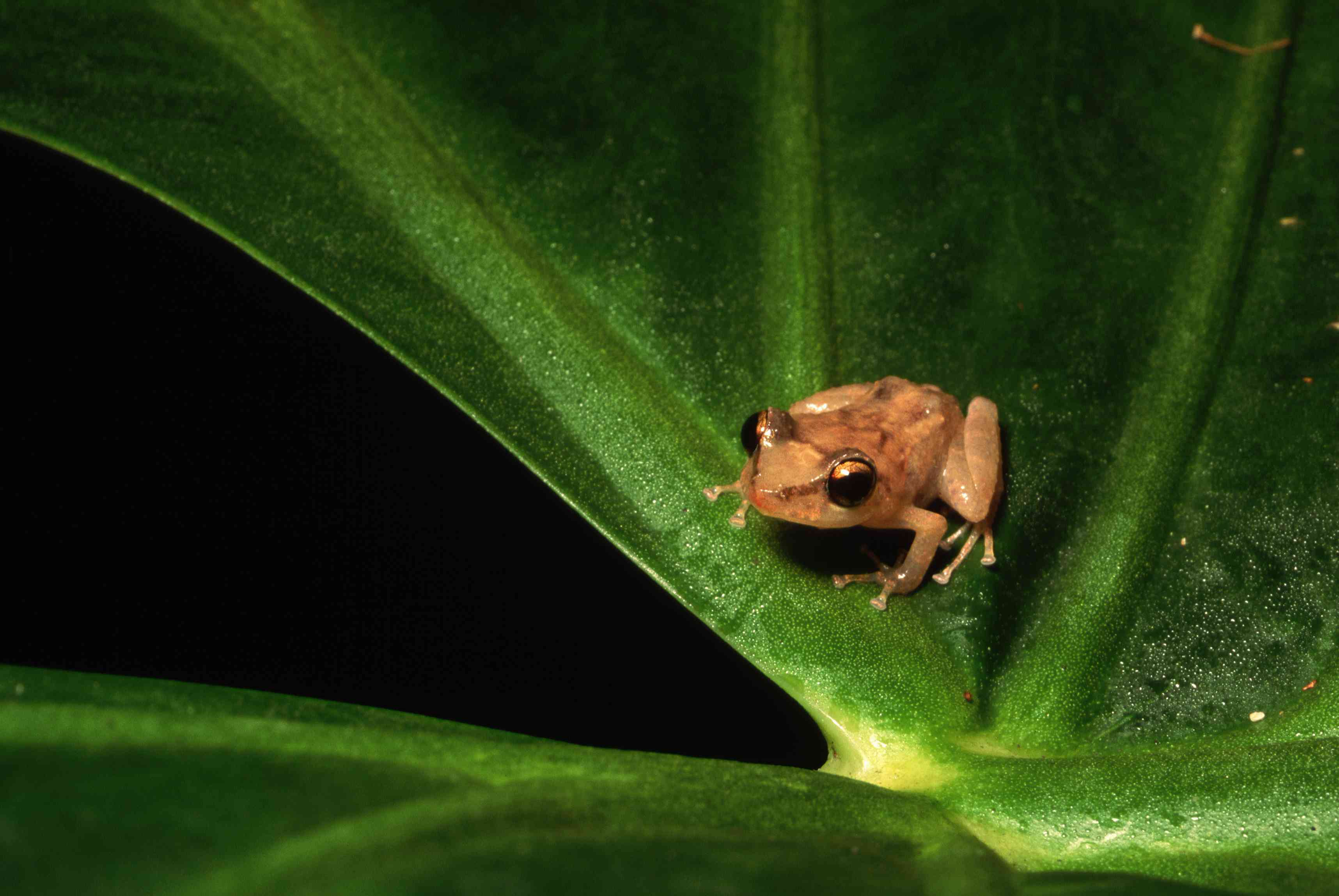 Eleutherodactylus Coqui Frog