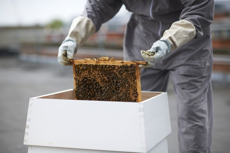 Beekeeper removing hive frame from hive.