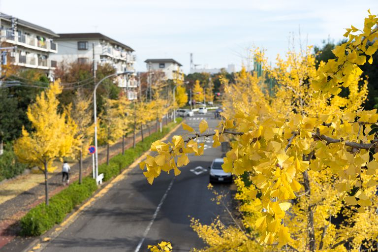 Yellow ginkgo leaves lining an urban street.