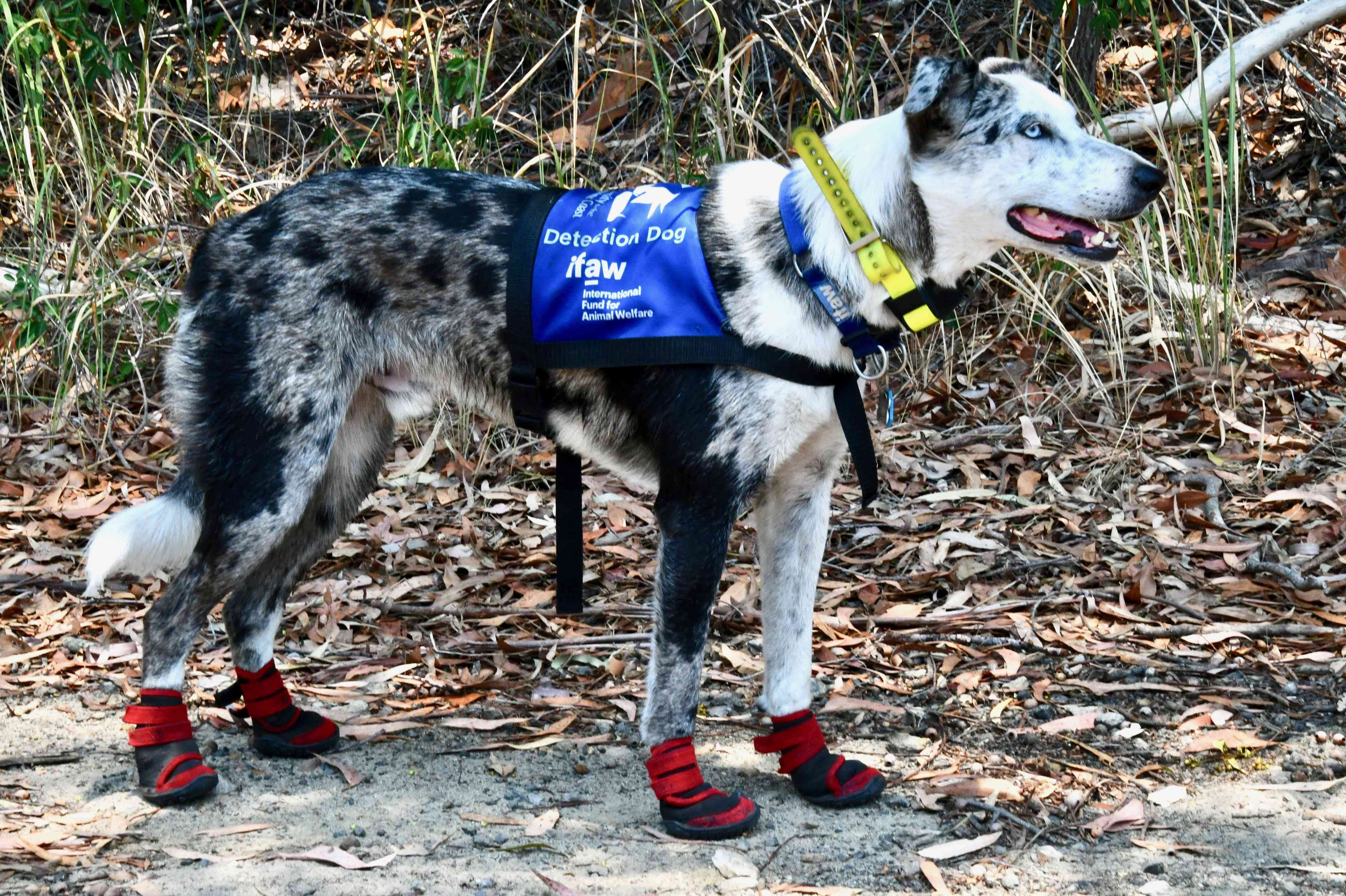 Bear is trained to sniff out live koalas so they can be rescued.