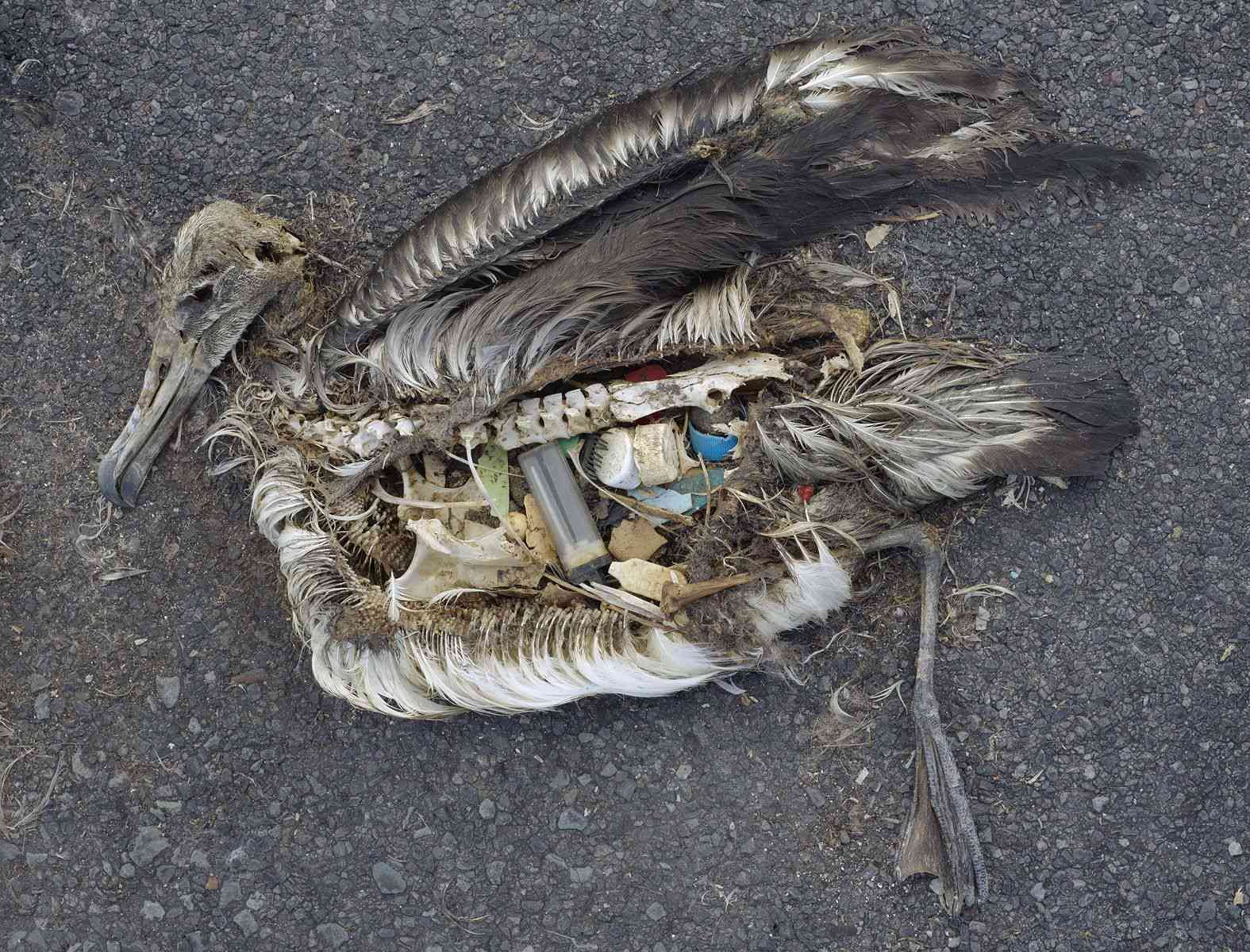 albatross chick stomach contents