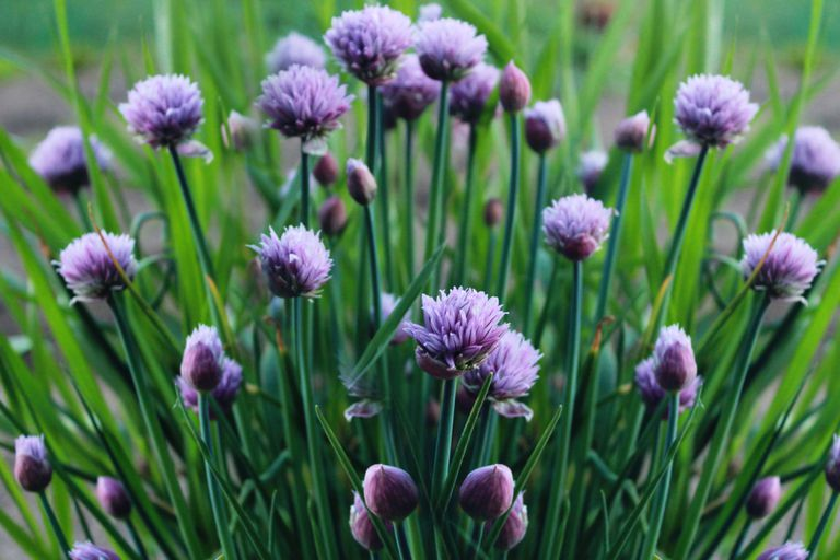 A bunch of chives with light purple flowers growing outside
