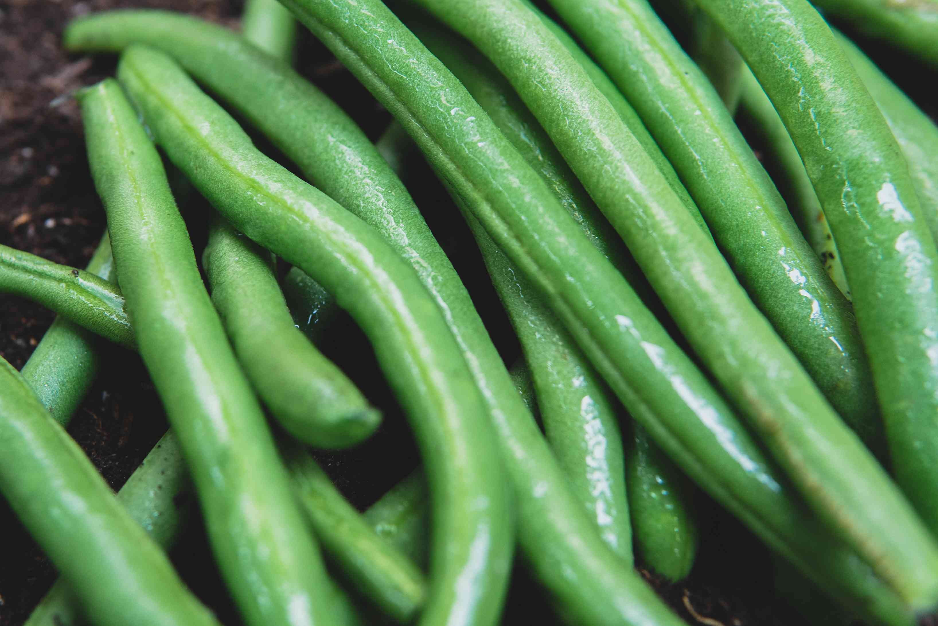 Wet green beans piled together on black dirt.
