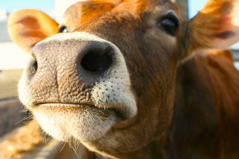 La increíble apuesta de una vaca por la libertad termina en tragedia