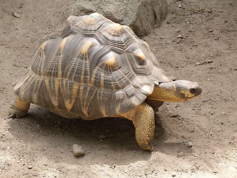 Brown and Yellow Radiated Tortoise Walking on Dirt