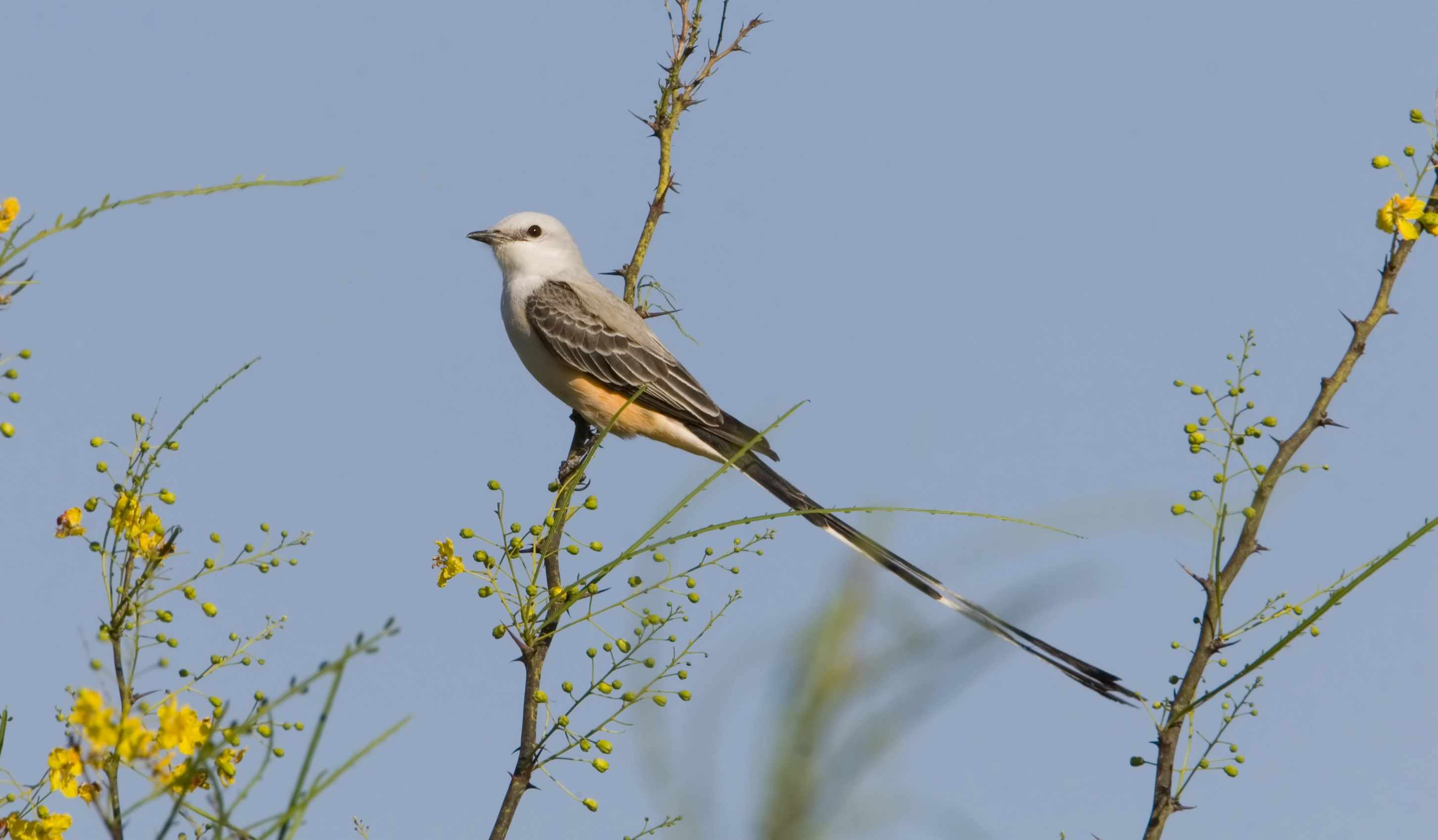 scissor-tailed flycatcher bird perches on plant against slate blue sky