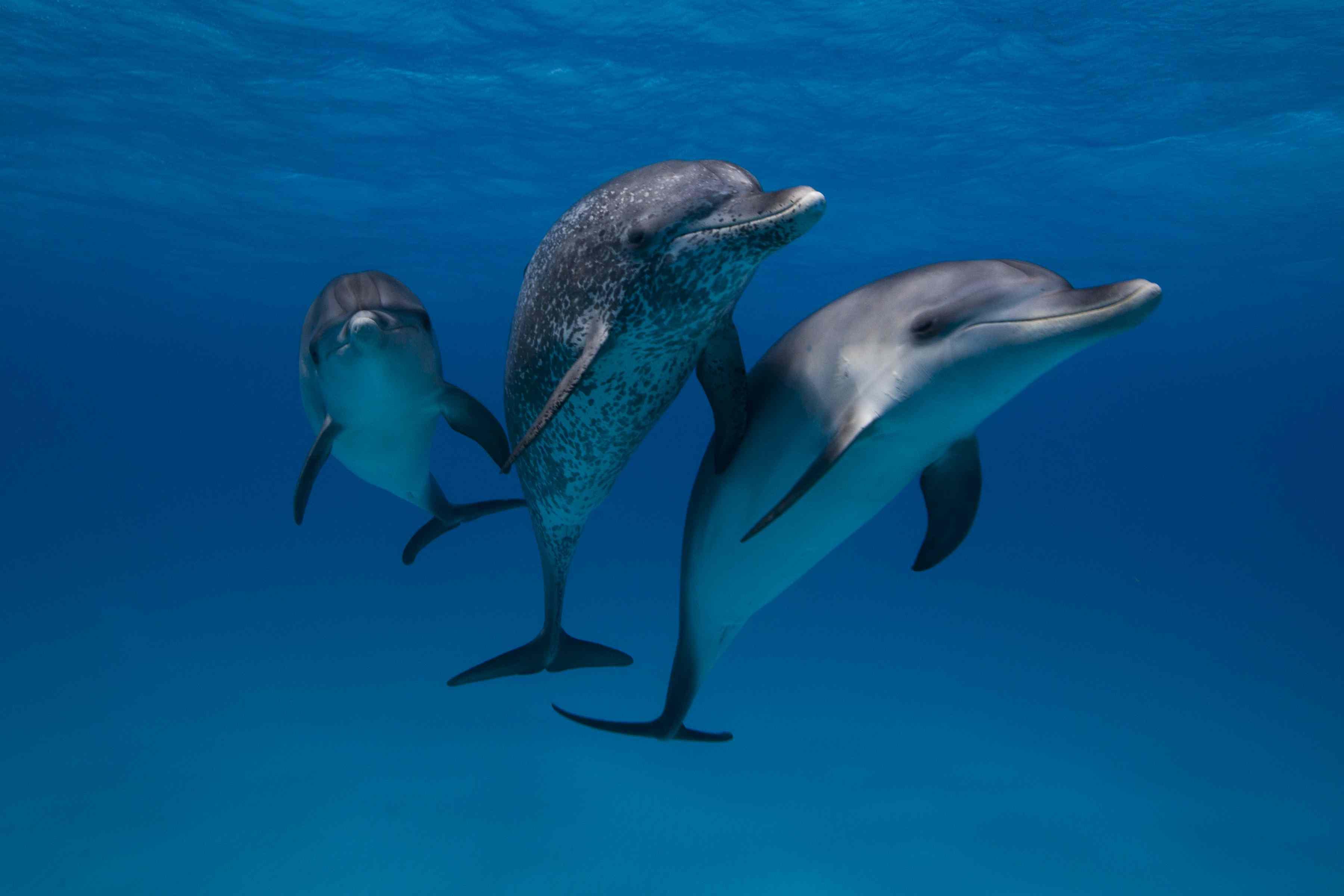 Three dolphins underwater.