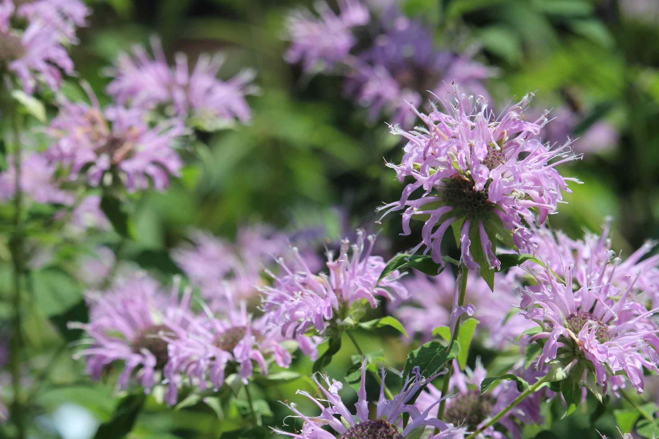 Purple bee balm blossoms