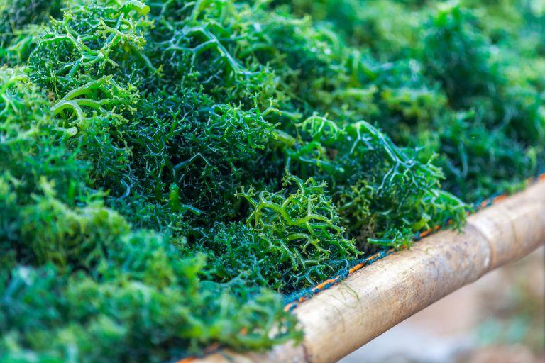 Close-up of freshly farmed seaweed