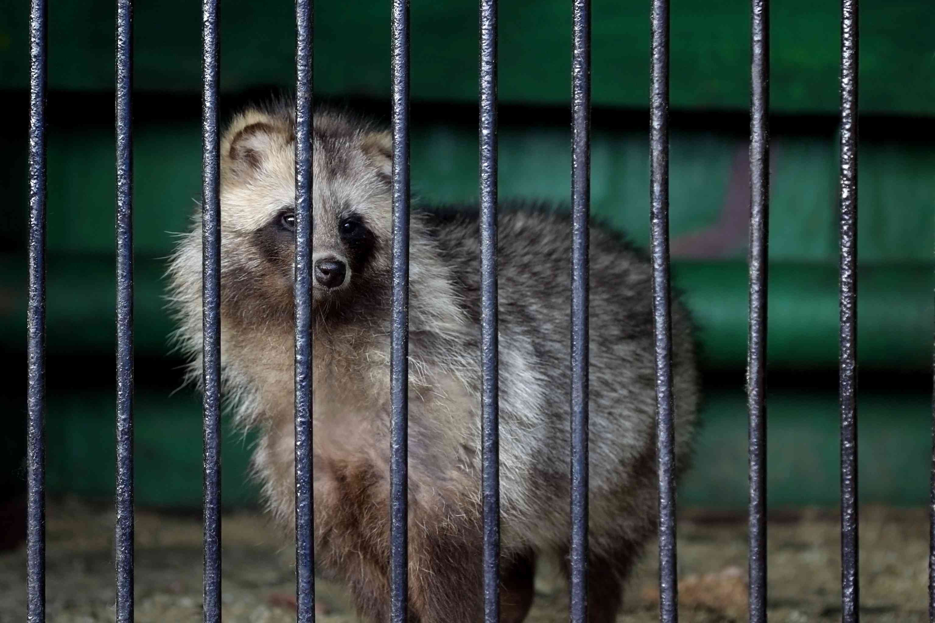 A tanuki stands in a cage