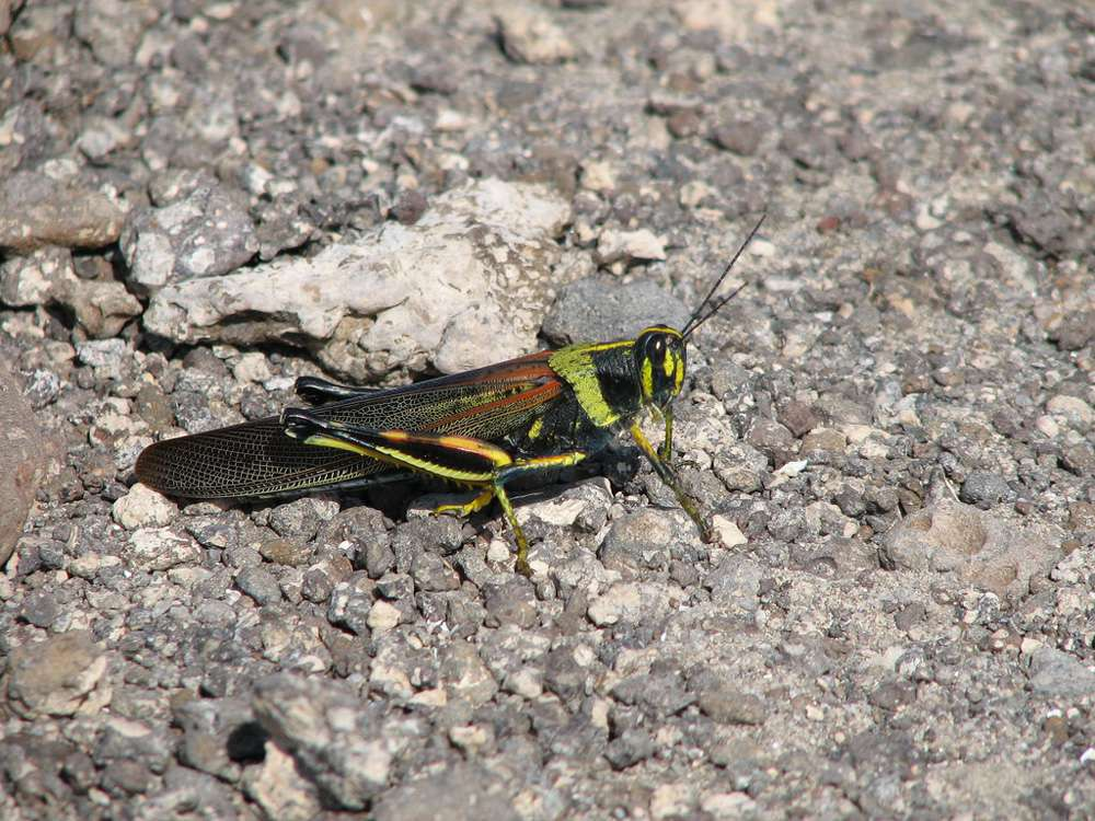 locust with green, yellow, and black markings on rocks