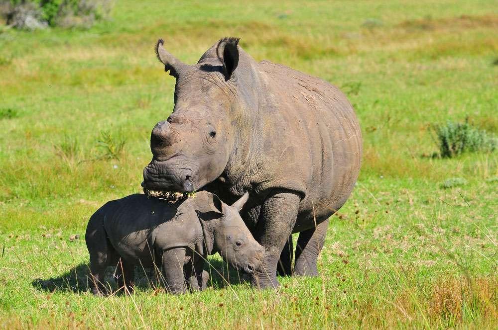 rhinoceros and calf